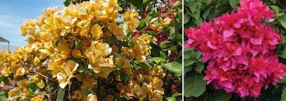 Бугенвилия хибридни сортове - California Gold и Double Red