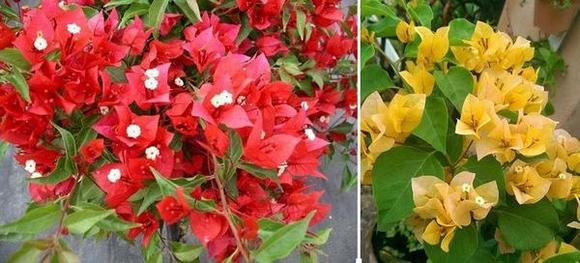 Бугенвилия хибридни сортове – Tomato Red и Golden Tango