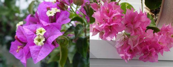 Как се гледа у дома красивото цвете от тропика бугенвилия?