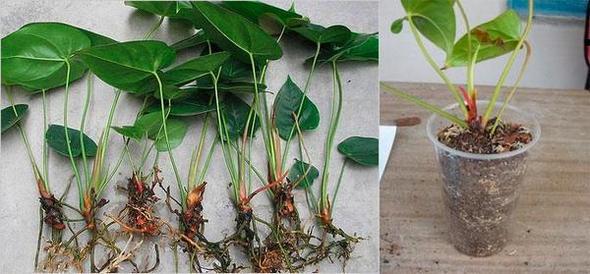 Родината на цветето Антуриум е тропическата гора, така че за него трябва да се създаде специален микроклимат в апартамента.