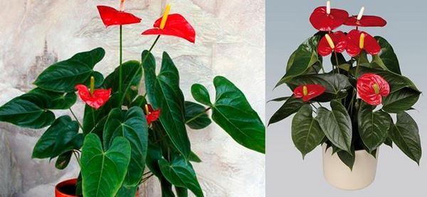 Антуриум Андре - този вид може да се разпознае с големи лъскави листа с дължина около 30–35 cm, със заострена горна част.