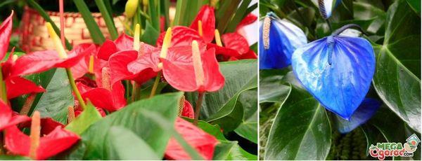 Цветята от рода антуриум са много популярни сред тези, които ценят красотата и се радват на дреболии. На сн. Антуриум Андре.