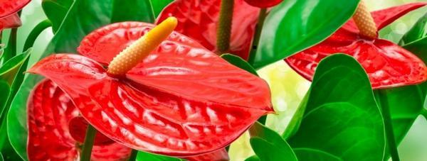 За да се размножават растенията, трябва да се подхожда много внимателно. Една грешка може да му причини смърт. Не се препоръчва на неопитните домакини самостоятелно да решават този въпрос.