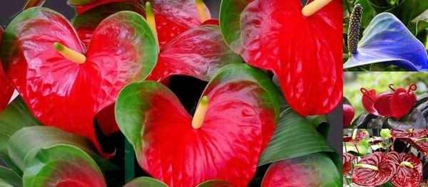 """Тайните на грижите у дома за красивото цвете антуриум или """"Мъжкото щастие"""". Сн. Антуриум Андре."""