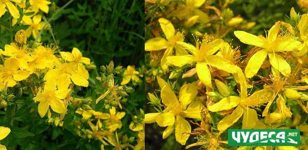 лечение на страхова невроза с билката жълт кантарион