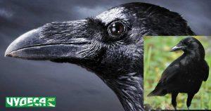 гарван, гарга и врана, каква е разликата?