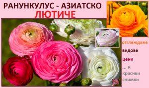 Лютиче (Ранункулус): Отглеждане в саксия и в градината. Цена на луковици