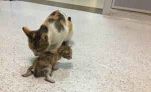 Пращат дарения на болницата, която прие ранено котенце