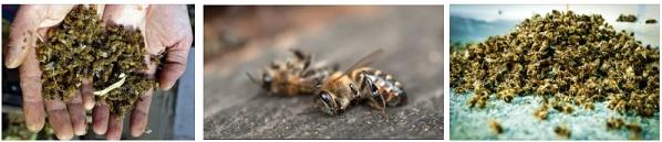 Масов мор на пчели
